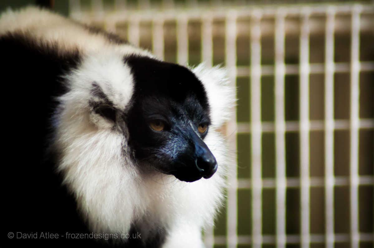 Black and White Ruffed Lemur By David Atlee