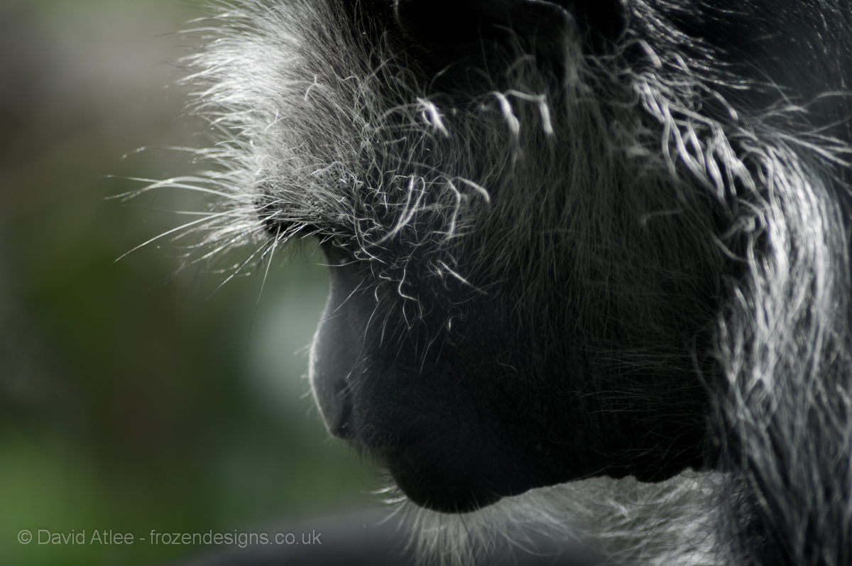 Colobus Monkey By David Atlee